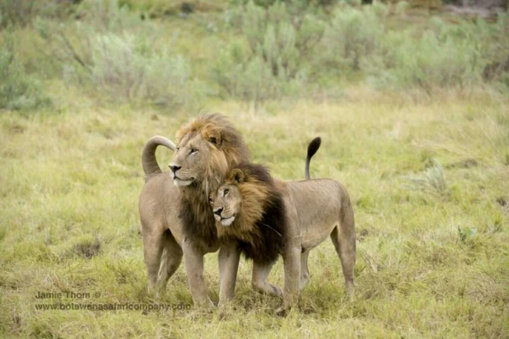 Gay mm lions